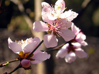 美丽绽放的桃花素材