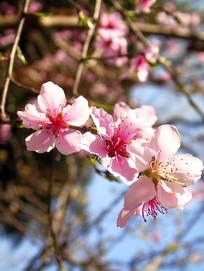 盛开的桃花素材