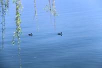 垂柳与野鸭
