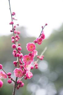 红梅朵朵开