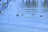 湖水中的野鸭特写