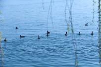 柳枝下的一排野鸭