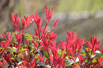 梅红色的叶子