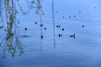 虚光柳枝前的野鸭群