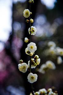 一枝绿萼梅