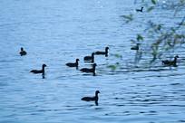 游荡的一群野鸭