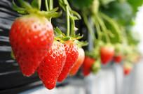 墙边排列整齐的草莓