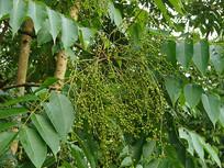 漆树科植物漆树