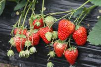 新鲜长在秧上的草莓