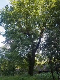 一颗古老的核桃树