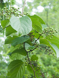 苦皮藤枝叶和果实