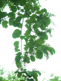 绿色藤本植物苦皮藤