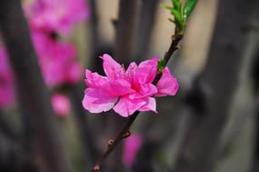 桃花背景图
