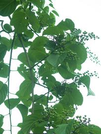 卫矛科绿色藤本植物苦皮藤