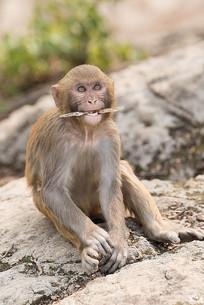 咬着东西的猴子