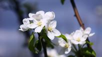 白色梨花绽放