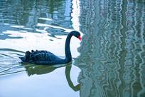 黑天鹅高清摄影