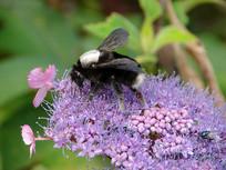 熊蜂为野花授粉