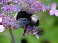 熊蜂在野花上采蜜