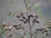 柏科柏木属植物柏木枝叶和球果