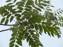 木蜡树枝叶