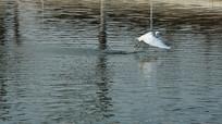 白鹭抓住小鱼