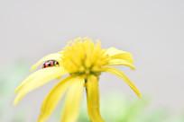 菊花与飘虫