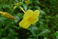 下雨过后的黄花