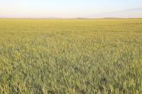 达里湖金色的草原风光