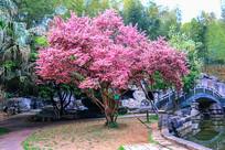 粉红色的樱花 小桥