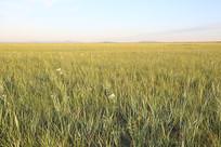 金色的达里湖草原