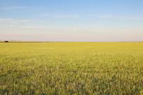 一望无际的金色草原美景