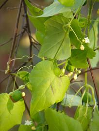 钮子瓜枝叶和藤蔓