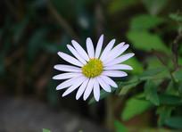 菊科植物马兰