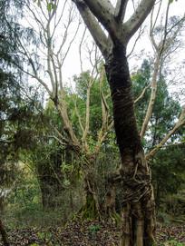 乡野田园老树林树干林中摄影图