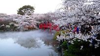 樱花全盛期