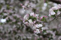 一支海棠花