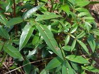 芸香科药用植物两面针