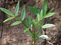 芸香科药用植物两面针绿色枝叶