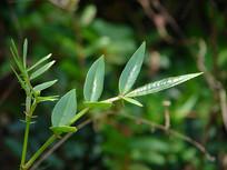 芸香科药用植物两面针枝叶特写