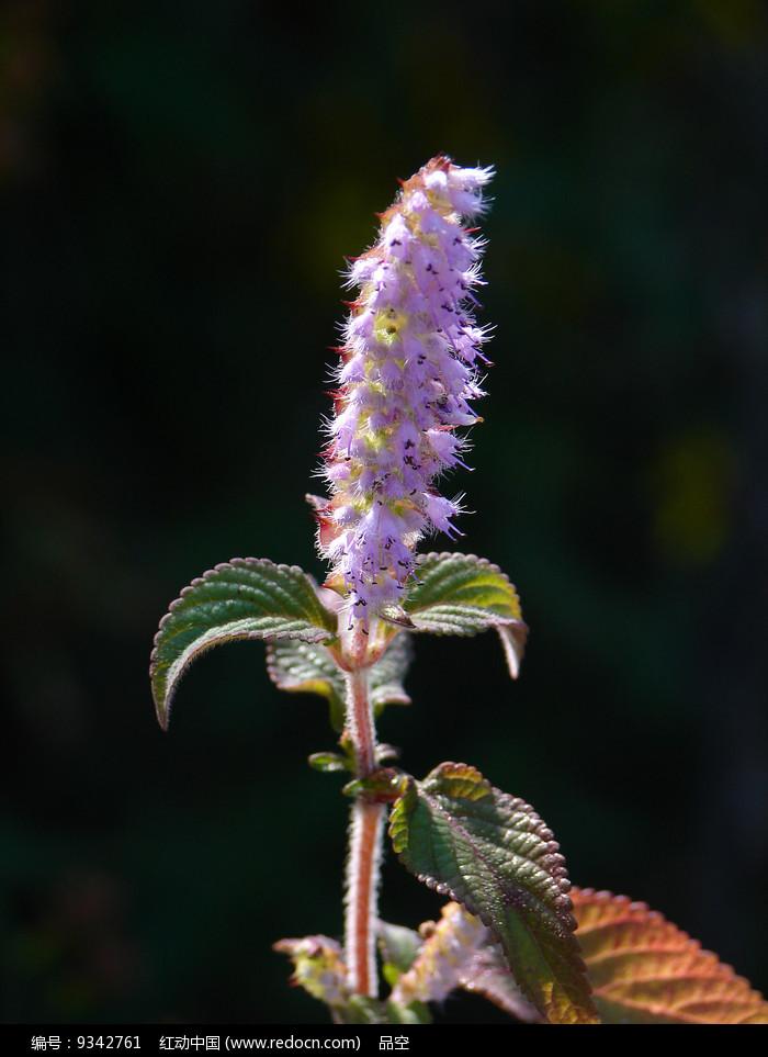 唇形科药用植物香薷紫色花朵图片
