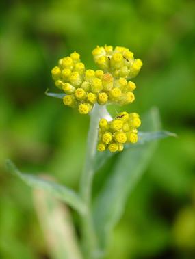 菊科植物鼠麴草黄色花冠