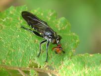 食虫虻捕食小昆虫