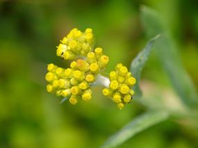 鼠麴草黄色花冠