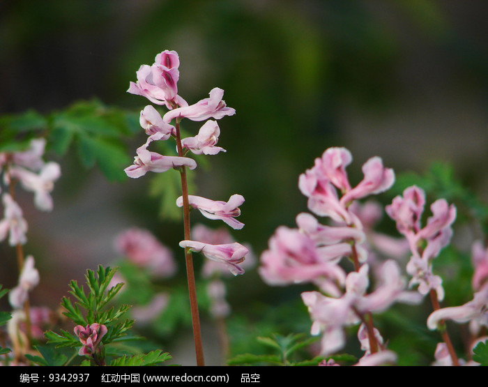罂粟科药用植物紫堇图片