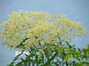 芸香科药用植物小花花椒