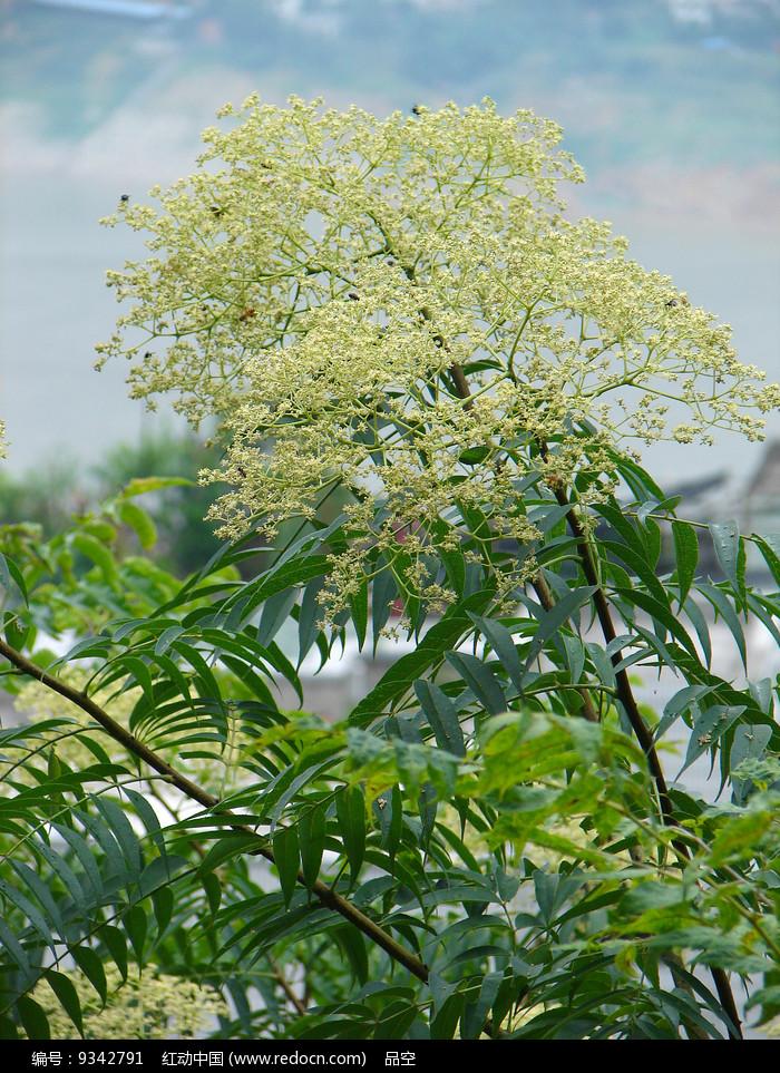 芸香药小花花椒树枝图片