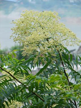 芸香药小花花椒树枝