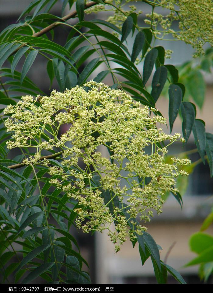 小花花椒淡黄色小花图片