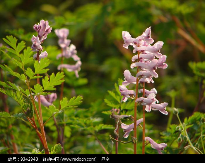 阳光下的紫堇花图片